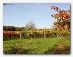 Vinograd (barve na Krasu)
